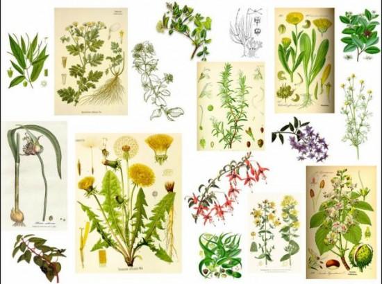 Las hierbas medicinales de hoy y siempre 3