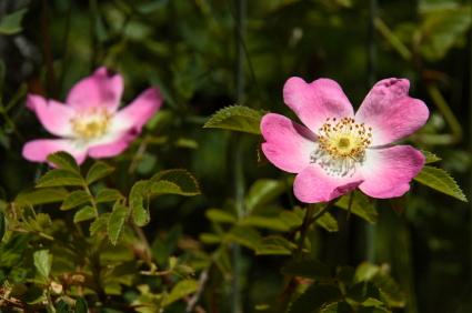 rosa de mosqueta y piel de bebé 3