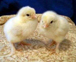 La nueva moda de las gallinas 2
